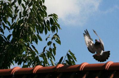 Klik voor een vergroting van Vliegende duif